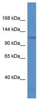 Western blot - FAM120C antibody (ab113907)