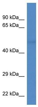 Western blot - TUBA8 antibody (ab113921)