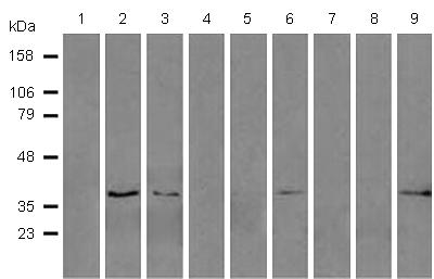 Western blot - Anti-ERCC1 antibody [4F9] (ab113941)