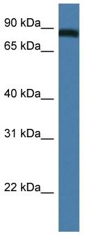 Western blot - TRAF3IP1 antibody (ab113945)