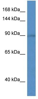 Western blot - SLC9A5 antibody (ab113954)
