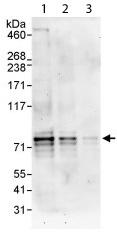 Western blot - Dyrk1B antibody (ab113968)