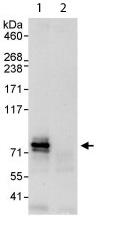 Immunoprecipitation - Dyrk1B antibody (ab113968)