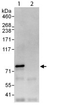Immunoprecipitation - C14orf169 / NO66 antibody (ab113975)