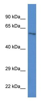 Western blot - ZKSCAN1 antibody (ab113988)