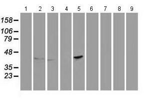 Western blot - Anti-PON1 antibody [2A9] (ab114007)
