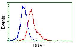 Flow Cytometry - Anti-B Raf antibody [1D2] (ab114014)