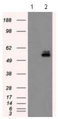 Western blot - Anti-PKMYT1 antibody [2B4] (ab114022)