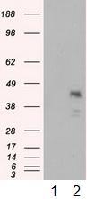Western blot - Anti-MCL1 antibody [2E11] (ab114026)