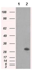 Western blot - Anti-Mad2L1 antibody [4D2] (ab114036)