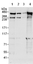 Western blot - Anti-Chromodomain helicase DNA binding protein 9 antibody (ab114115)