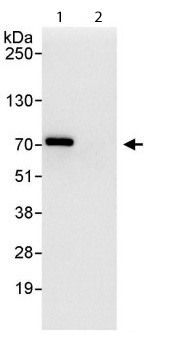 Immunoprecipitation - Anti-CENPT antibody (ab114120)