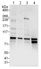 Western blot - Anti-SFRS17A antibody (ab114128)
