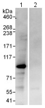 Immunoprecipitation - Anti-SFRS17A antibody (ab114128)