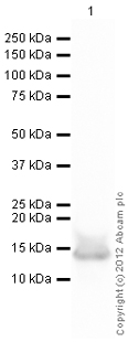 Western blot - Anti-Histone H4 (acetylated) (acetyl K5) antibody (ab114146)