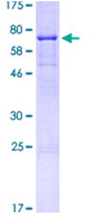 SDS-PAGE - CD44 protein (ab114154)