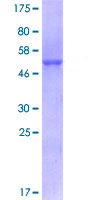 SDS-PAGE - CD147 protein (ab114195)