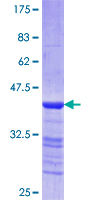 SDS-PAGE - heavy chain Myosin protein (ab114308)