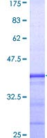 SDS-PAGE - GATA2 protein (ab114361)