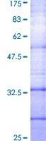 SDS-PAGE - Somatostatin Receptor 2 protein (ab114373)