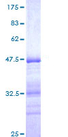 SDS-PAGE - ERM / Etv5 protein (ab114594)