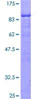 SDS-PAGE - SLP76 protein (ab114697)