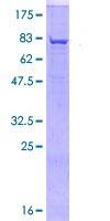 SDS-PAGE - FUT8 protein (ab114702)