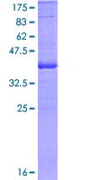 SDS-PAGE - Integrin alpha E protein (ab114703)