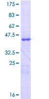 SDS-PAGE - Cellular Apoptosis Susceptibility protein (ab114716)