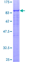 SDS-PAGE - TRIM23 protein (ab114830)