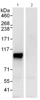 Immunoprecipitation - Anti-NFXL1 antibody (ab114848)