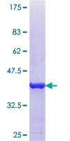 SDS-PAGE - Properdin protein (ab114924)