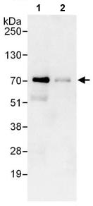 Immunoprecipitation - Anti-IRF2BP1 antibody (ab114970)