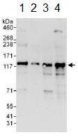 Western blot - Anti-ZNF280D antibody (ab114972)