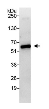 Immunoprecipitation - Anti-Suppressor of Fused antibody (ab114979)