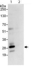 Immunoprecipitation - Anti-mtTFA antibody (ab114993)