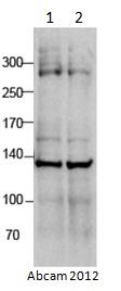 Western blot - Anti-RLF antibody (ab115011)