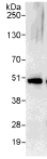Immunoprecipitation - Anti-eIF4A3 antibody (ab115022)