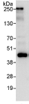 Immunoprecipitation - Anti-HSPC142 antibody (ab115040)