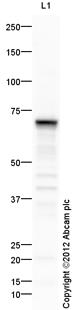 Western blot - Anti-alpha 1 Fetoprotein antibody (ab115133)