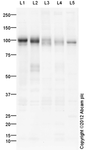 Western blot - Anti-VCAM1 antibody (ab115135)