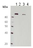 Western blot - Anti-EEF2 (phospho T56) antibody (ab115165)