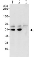 Immunoprecipitation - Anti-Cdc37 antibody (ab115166)