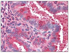 Immunohistochemistry (Formalin/PFA-fixed paraffin-embedded sections) - Anti-ACTR1B antibody (ab115323)