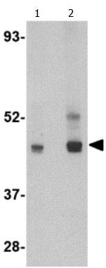 Western blot - Anti-LIS1 antibody (ab115357)