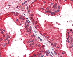 Immunohistochemistry (Formalin/PFA-fixed paraffin-embedded sections) - Anti-AIBZIP antibody (ab115466)