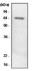 Western blot - Anti-PEDF antibody [1C4] (ab115489)