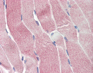 Immunohistochemistry (Formalin/PFA-fixed paraffin-embedded sections) - Anti-SIRT4 antibody (ab115517)