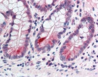 Immunohistochemistry (Formalin/PFA-fixed paraffin-embedded sections) - Anti-CCNL2 antibody (ab115547)