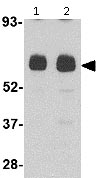 Western blot - Anti-UNC93B antibody (ab115591)